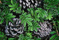 A close-up of small fern-like grasses and pine cones.