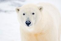 polar bear, Ursus maritimus, on ice and snow, 1002 coastal plain of the Arctic National Wildlife Refuge, Alaska, polar bear, Ursus maritimus