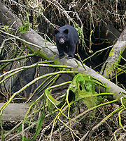 A black bear cub looks for a safe way to get down to the ground as it follows its mom along the beach.