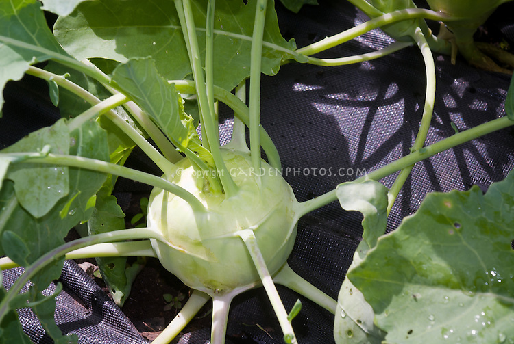 Kohlrabi vegetable growing in garden with landscape fabric weed suppressant mulch