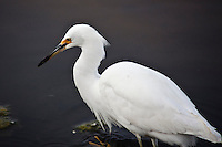 A Snowy egret, foraging for its breakfast at Pomponio State Beach, California.