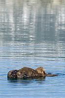 Sea Otter (Enhydra lutris) pup nursing.
