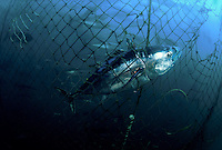 Hundreds of Southern Bluefin Tuna, Thunnus maccoyii, can be seen in the background inside this holding pen. Sharks inadvertantly chew their way into these holding pens, as they feed on the carcasses of tuna, like this one, caught in the netting. South Australia<br />