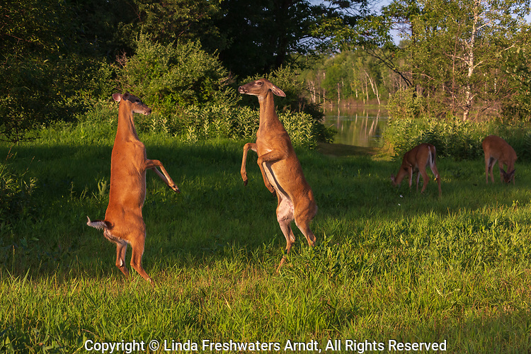 White-tailed does fighting in a field in northern Wisconsin.
