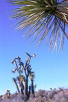Yucca branch & Joshua Tree<br />