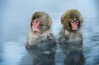 Snow monkeys or Japanese macaque, at Jigokudani Yaenkoen Park,
