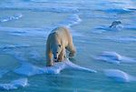 A polar bear walks across the ice with an arctic fox following behind in Canada.