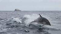 Breaching Common Dolphin near the Tasman Peninsula, Tasmania