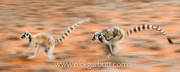 Female Ring-tailed Lemurs (Lemur catta) carrying infants (3-4 weeks) when running across open ground. Berenty Private Reserve, southern Madagascar (digitally stitched image).