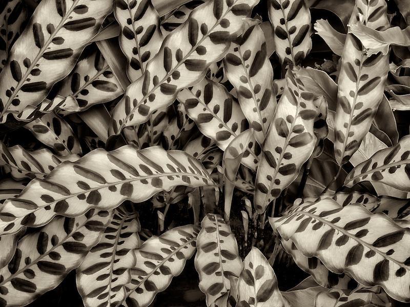 Close up of leaves of dalathea. Oregon