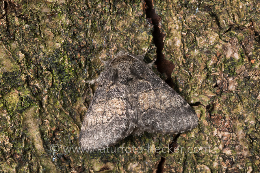 Pappelauen-Zahnspinner, Gluphisia crenata, dusky marbled brown, dusky marbled brown moth, La Crénelée, Zahnspinner, Notodontidae, prominents