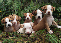 Pit Bull Terrier puppies at 6 weeks.