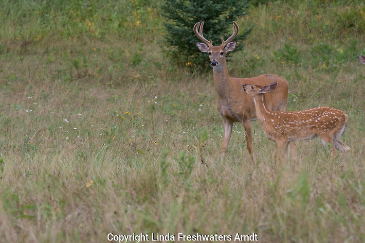 White-tailed fawn investigating a buck (Odocoileus virginianus)