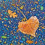 Poplar and oak leaves on the street, Peek Hill, Jackson, Calif.