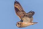 Short-eared owl in flight, George C. Reifel Migratory Bird Sanctuary, British Columbia, Canada