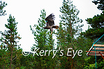 Flying the nest: one of the six eagles released in Killarney on Saturday morning