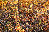 Wild berries in autumn, Connecticut
