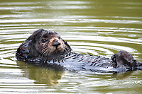 Cute little juvenile sea otter (Enhydra lutris nereis) shows curiousity while grooming near mother otter @ Moss Landing, Monterey Bay National Marine Sanctuary, Monterey, California, USA, Pacific Ocean