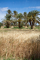 Alnif, Tinghir Province, Morocco.  Wheat Growing.