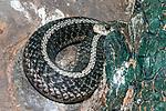 Common Garter snake hiding behind fallen log.