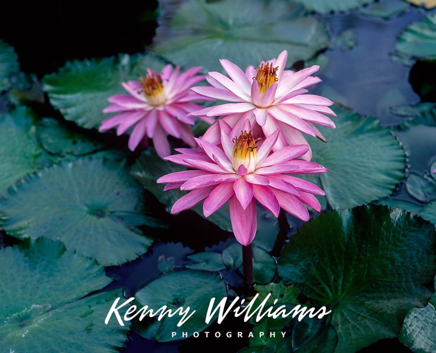 Water Lilies, Tropical Flowers, Hawaii, USA.