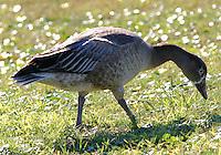 Juvenile dark lesser snow goose