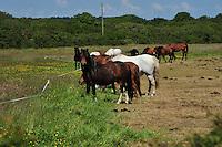 Ponies strip grazing near Helston, Cornwall....Copyright..John Eveson, Dinkling Green Farm, Whitewell, Clitheroe, Lancashire. BB7 3BN.01995 61280. 07973 482705.j.r.eveson@btinternet.com.www.johneveson.com