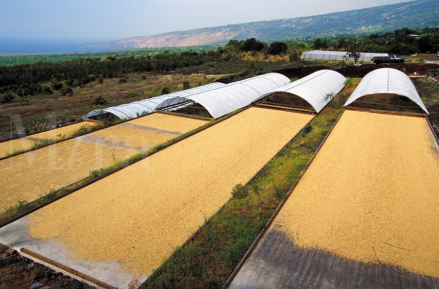 Coffee farm; green Kona coffee beans drying in sun; Bayview Farm; Honaunau, Hawaii. Kailua-Kona Hawaii USA Big Island.