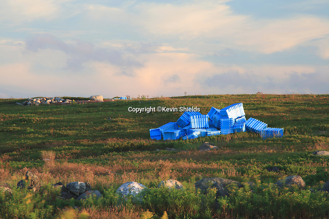 Blueberry field at harvest time in Union, Maine