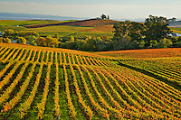 Fine art landscape image of Napa vineyards in fall, with rows of grape leaves turning red, lines leading towards the middle of the image, with counter-balance of lines creating patterns in late afternoon light, with a thin line of the Suisun Bay in the background, in Nothern California wine district.
