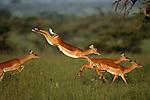 Impala, Mara River region, Kenya