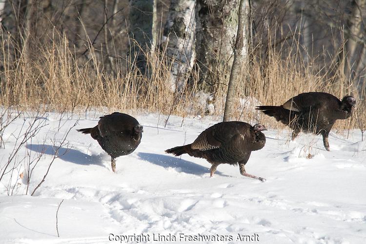 Eastern wild turkey in snow