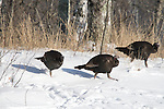 Eastern wild turkey in snow