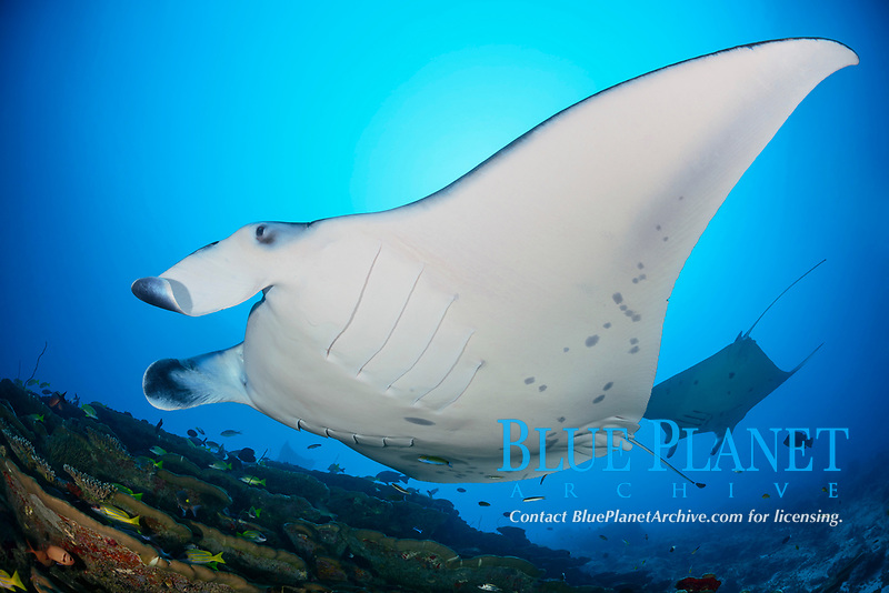 reef manta ray, Mobula alfredi, at cleaning station, Manta Point, Gan, Maradhoo, Addu Atoll, Maldives, Laccadive Sea or Lakshadweep Sea, Indian Ocean