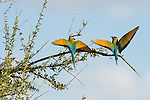 A white-throated bee-eater pair perform a mating display in Samburu Game Reserve, Kenya.