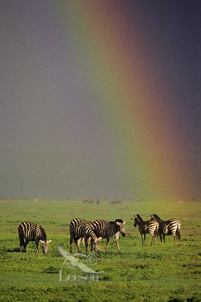 Plains Zebra or Burchell's Zebra (Equus burchellii) during rainstorm in Ngorongoro Crater, Tanzania.