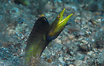 Blue Throat Pike Blenny, Chaenopsis ocellata (Tube Blenny),Mating Behavior, Blue Heron Bridge; Lake Worth Inlet; Florida; USA; Amazing Underwater Photography; Marine behavior