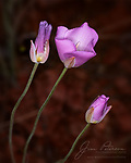 Life Cycle of Mariposa Lilies.  This elegant trio greeted us at dawn near the Baldwin trailhead south of Sedona.  They were demonstrating the opening, blooming, and fading stages of their fleeting journey in this world, in celebration of the bounteous rains we had in Arizona over the preceding winter and into the springtime.<br /> <br /> Image ©2020 James D. Peterson