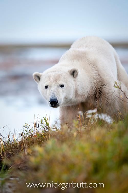 Polar Bear (Ursus maritimus) by stream along the shores of Hudson Bay, Canada in late September.