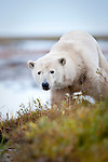 Polar Bear (Ursus maritimus) by stream along the shores of Hudson Bay, Canada in late September.
