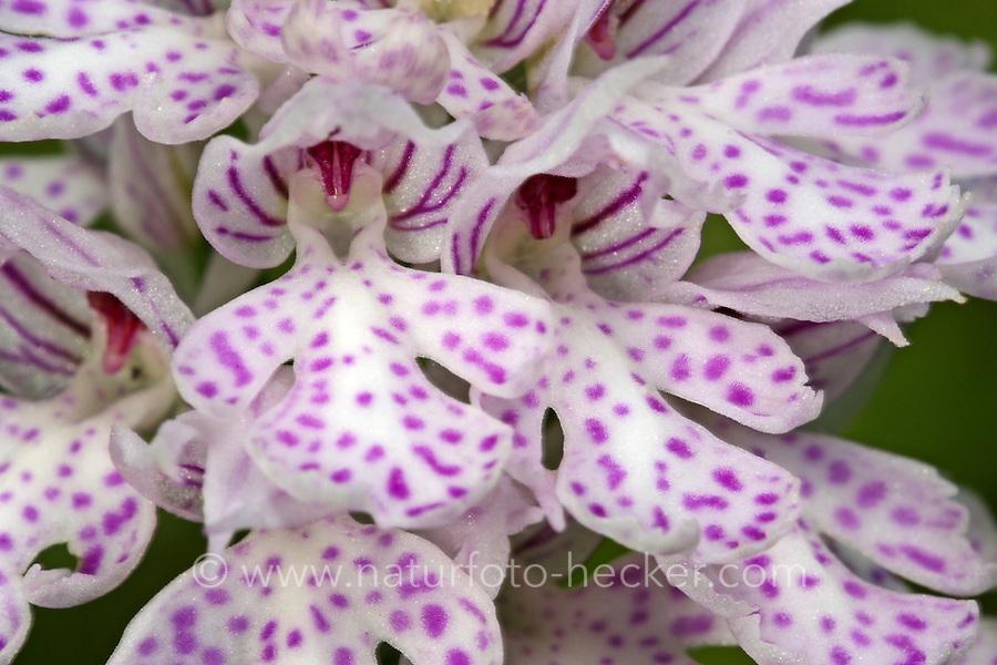 Dreizähniges Knabenkraut, Orchis tridentata, Neotinea tridentata, three-toothed orchid, orchis dentelé, orchis tridenté