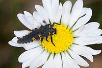 Siebenpunkt-Marienkäfer, Siebenpunkt, Siebenpunkt - Marienkäfer, 7-Punkt-Marienkäfer, 7-Punkt, Larve, Käferlarve, Coccinella septempunctata, Coccinella 7-punctata, seven-spot ladybird, sevenspot ladybird, 7-spot ladybird, seven-spotted ladybug, C-7, larva, La coccinelle à sept points, Marienkäfer, Coccinellidae