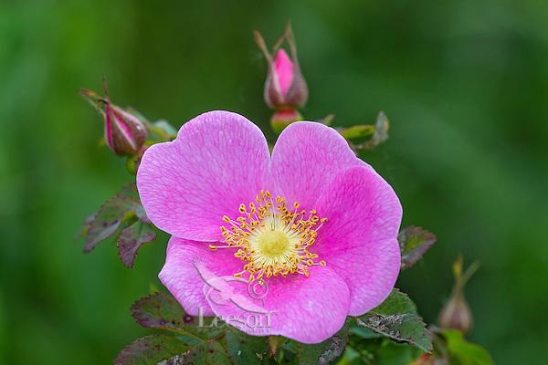Wild Rose or Nootka Rose (Rosa nutkana).  Common wildflower of Pacific Northwest.  May-June.<br /> Wildflower