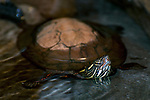 Painted turtle in pond with heading sticking out of water.