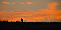 A bull elk is silhouetted by a Wasatch Mountain sunrise.