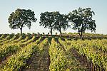 Vineyards in summer, Shenandoah Valley, Calif.