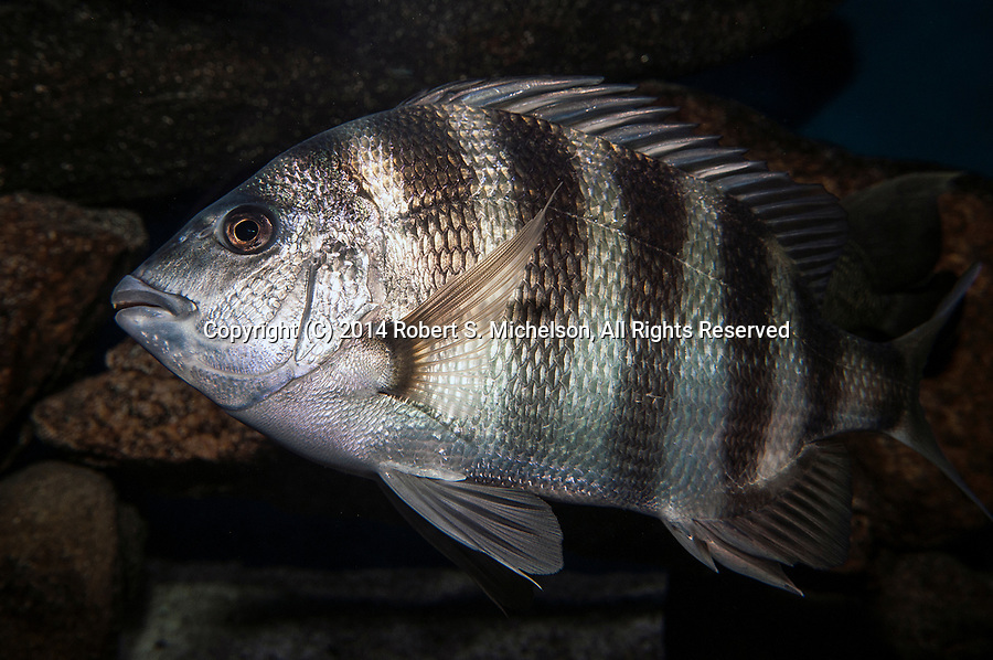Sheepshead swimming left full body view