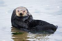 sea otter, Enhydra lutris nereis, hauled out, Moss Landing, Monterey Bay National Marine Sanctuary, Monterey, California, USA, Pacific Ocean