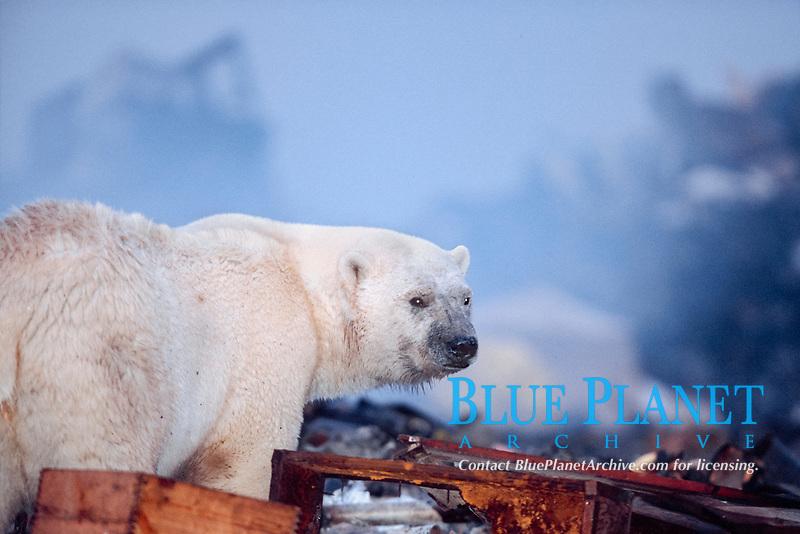 young male polar bear, Ursus maritimus, foraging in the dump near the town of Churchill, Manitoba, Canada, polar bear, Ursus maritimus