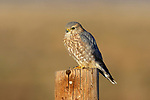 Merlin on Fence Post
